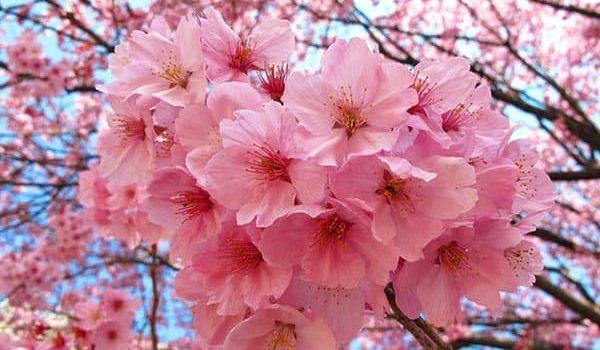 Когда цветет сакура и как проводят эти дни в Японии.