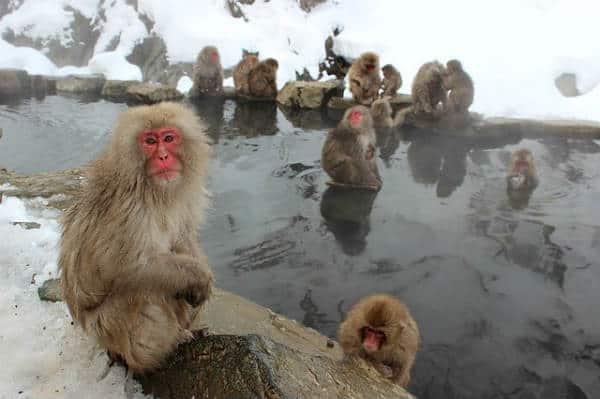 Япония. Снежные обезьяны