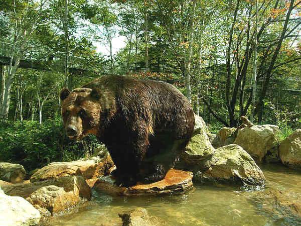 Японский медведь
