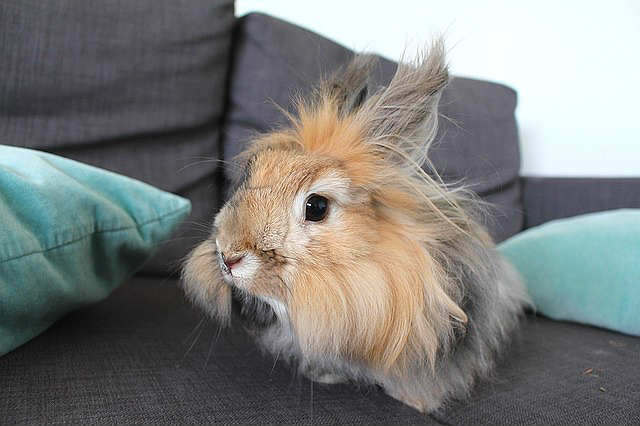 ангора кролик