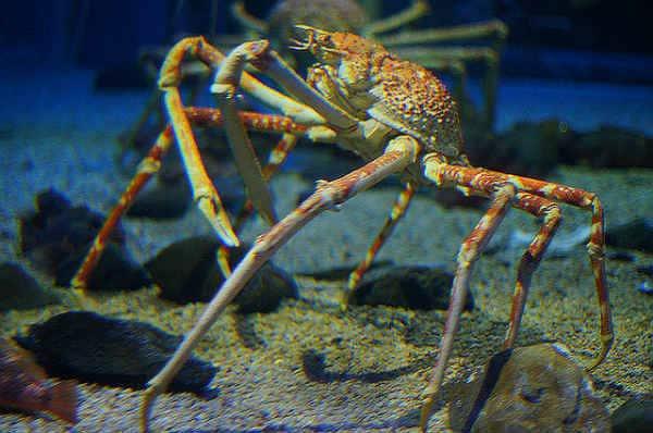 японский краб паук
