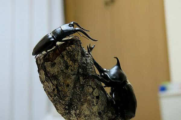жук-олень и жук-носорог, борьба