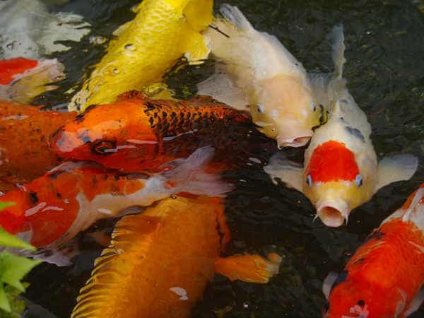 colored-carp