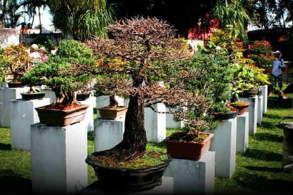 kak-vyirastit-bonsay