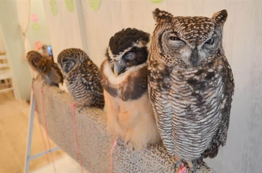 Owl Cafe – одно из необычных мест в Токио!