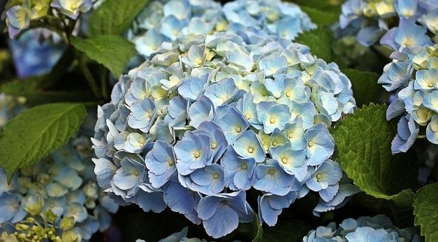 Цветение гортензии открыло сезон дождей в Японии.